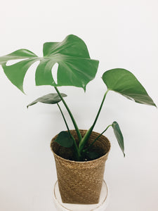 Monstera Deliciosa Plant In Basket