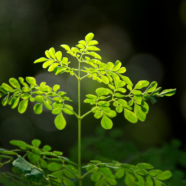 What you need to know about Moringa!