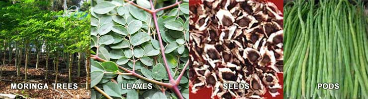 Learn all about Moringa Oliefera!