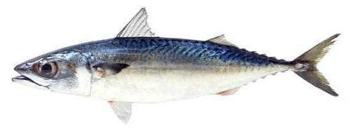 サバ  Saba (Mackerel)