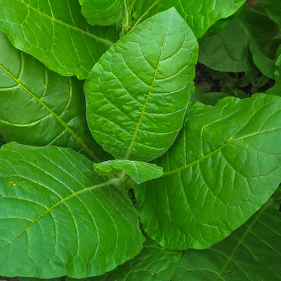 Tobacco - Wearable Aromatherapy