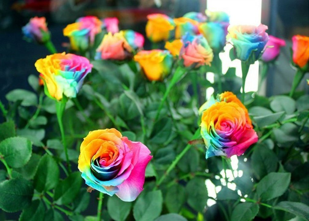 Rare Holland Rainbow Rose Flower Seeds(100 pieces)