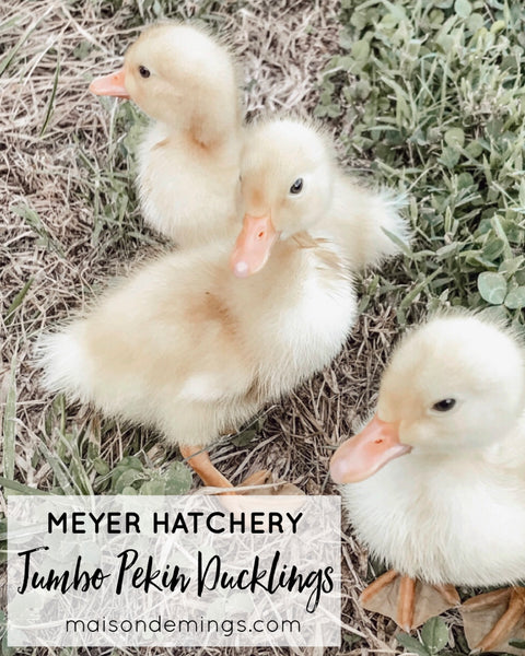 Jumbo Pekin Ducklings (Meyer Hatchery)