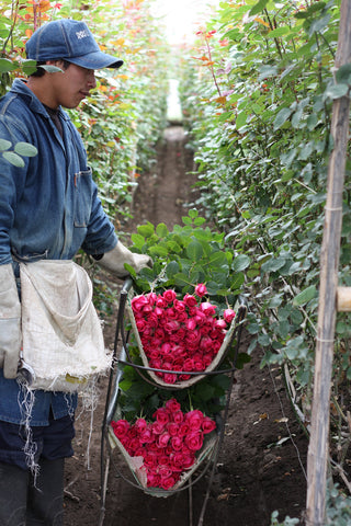 Rose farm worker