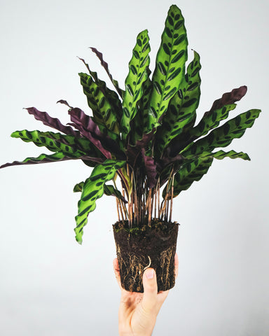 bareroot rattlesnake calathea being held by a hand in front of a white wall