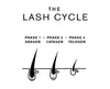 Image of the 3 stages of the Lash Cycle