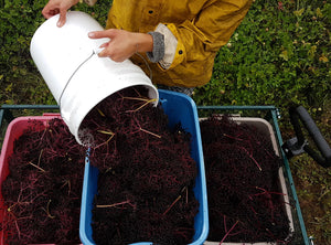 abundant elderberry harvest