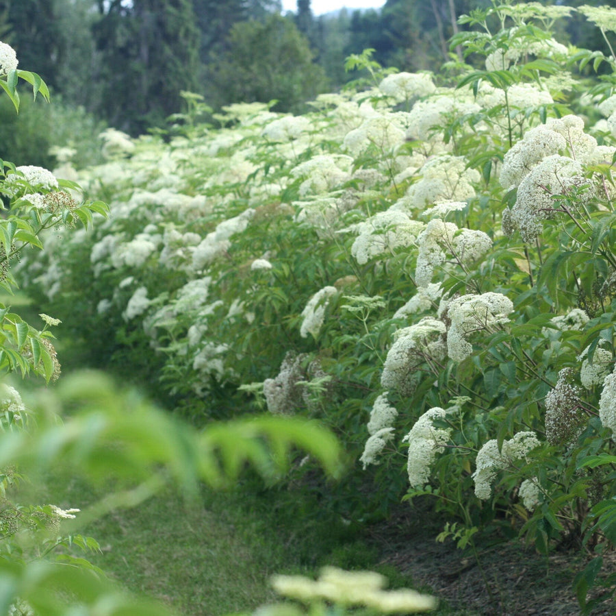elderflower field in bloom at Elderberry Grove