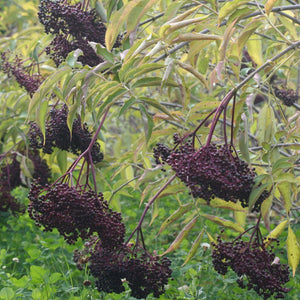 organic elderberry bush british columbia