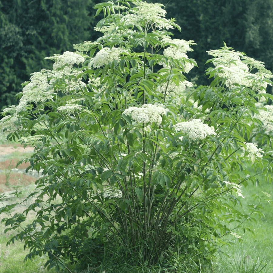 elderberry bush flowering in garden in british columbia, canada