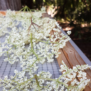 Organic Elderflowers drying at Elderberry Grove