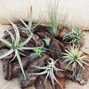 What are air plants? - AirplantHK