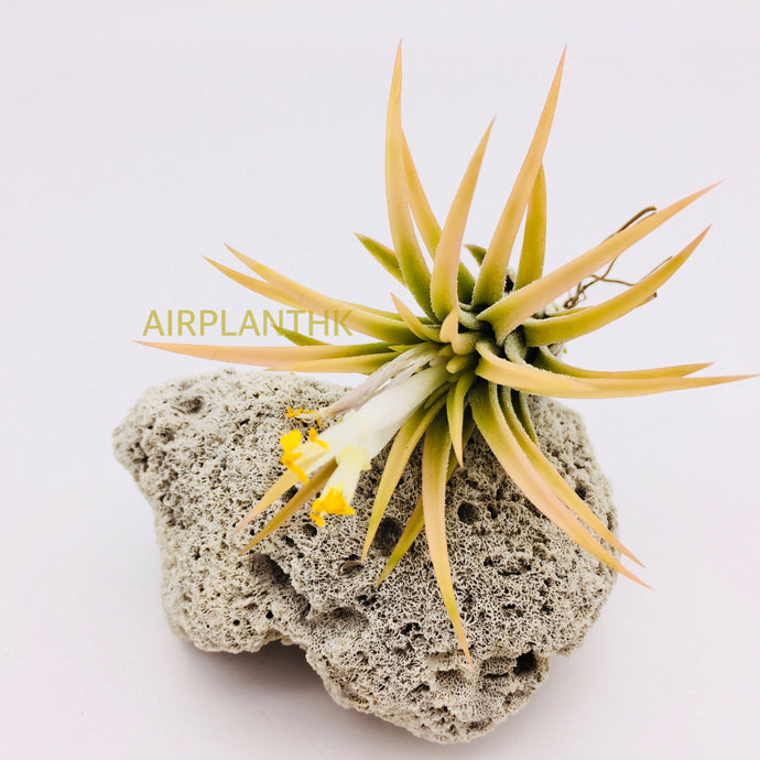 Tillandsia ionantha peach - AirplantHK
