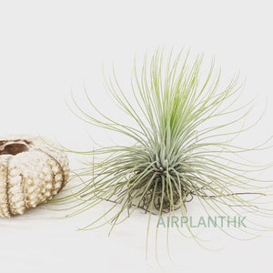 Tillandsia andreana - AirplantHK