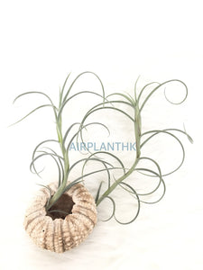 Tillandsia crocata giant - AirplantHK