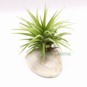Tillandsia ionantha fat boy - AirplantHK