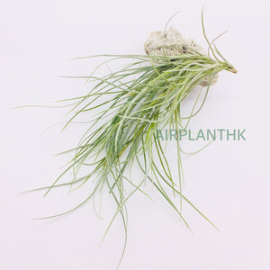 Tillandsia x kimberly - AirplantHK
