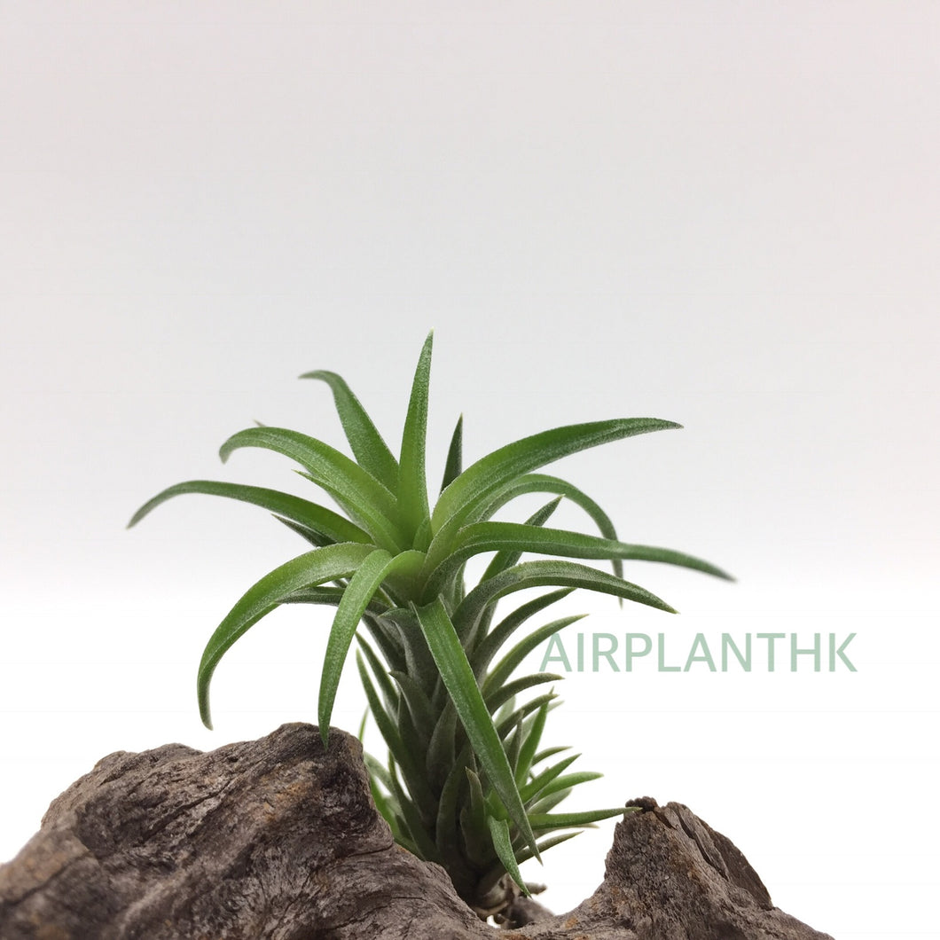 Tillandsia neglecta - AirplantHK