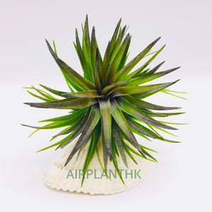 Tillandsia tenuifolia purple fan - AirplantHK