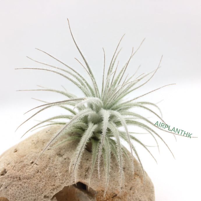 Tillandsia tectorum ecuador - AirplantHK