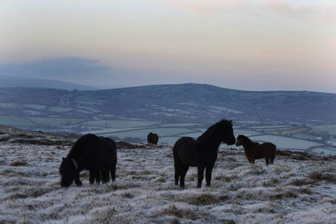 My ponies grazing on frosty Dartmoor !
