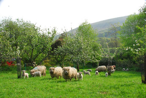 Blossom and Lambs in a Dartmoor Valley