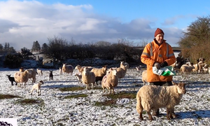 Farmer Frank with his flock of ewes and lambs in early April