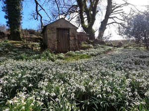 Snowdrop Wonderland at Huccaby Church on Dartmoor!