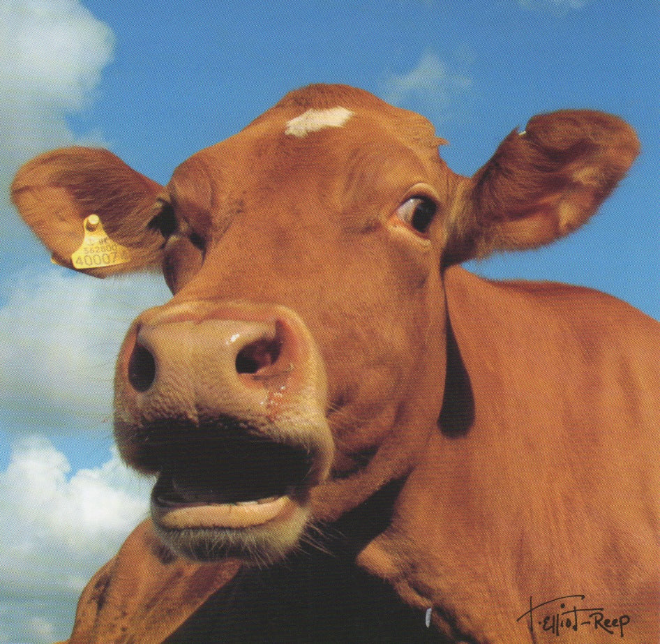 C113 - Moo Cow - Blank Card - Square
