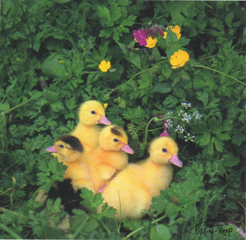 C152 - Buttercup Ducklings - Blank Card - Square