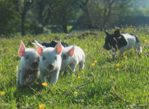 C163 - Piglets on the Run - Blank Card - Rectangle
