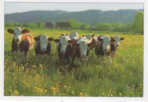 P020 - Buttercups & Daisies - Postcard - Regular - Pack of 10