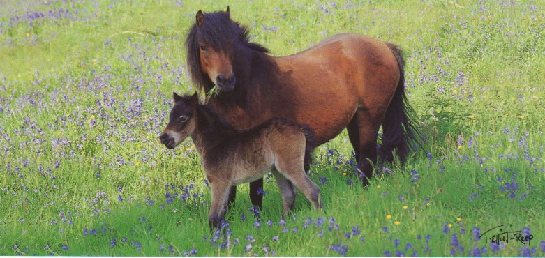 P049 - Dartmoor Mare & Foal - Postcard - Panoramic - Pack of 10