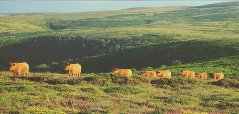 P051 - South Devon Cattle - Postcard - Panoramic - Pack of 10
