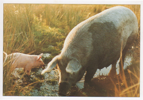 P007 - Sow & Piglet - Postcard - Regular - Pack of 10