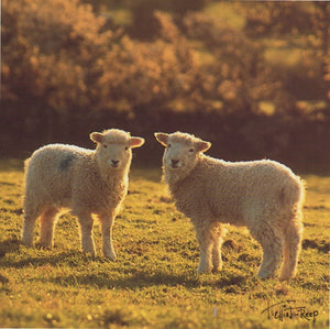 C072 - Lamb Halo - Blank Card - Square