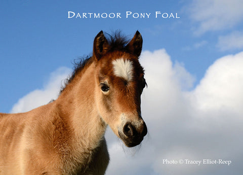 M01 - Dartmoor Pony Foal Fridge Magnet