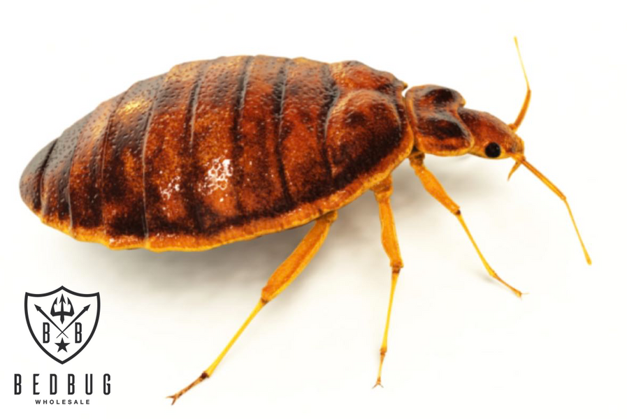 Australian Bedbug Key Facts
