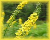 Agrimony Flower Essence