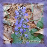Ajuga Flower Essence