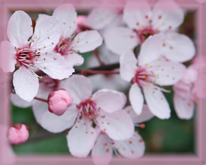 Cherry Plum Flower Essence - Nature's Remedies