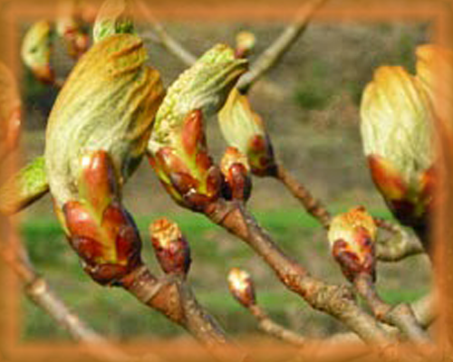 Chestnut Bud Flower Essence - Nature's Remedies