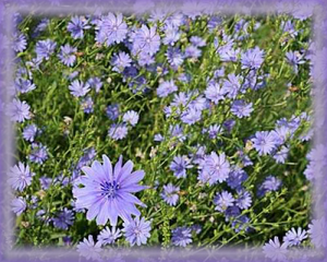 Chicory Flower Essence - Nature's Remedies