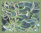 Curly Willow Flower Essence