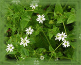 Chickweed Flower Essence - Nature's Remedies