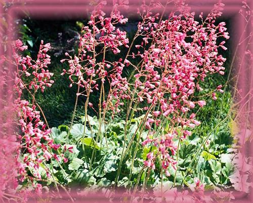 Coral Bells Flower Essence - Nature's Remedies