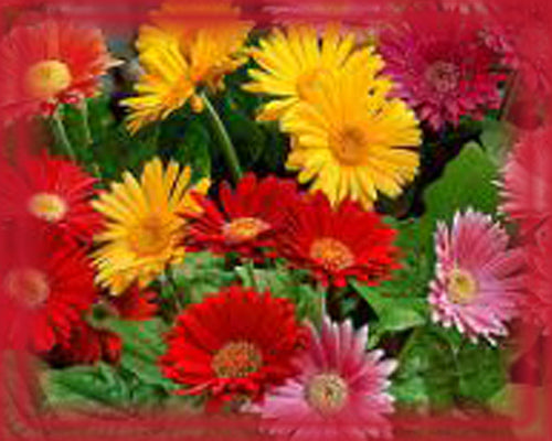 Gerbera Flower Essence - Nature's Remedies