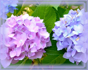 Hydrangea Flower Essence - Nature's Remedies