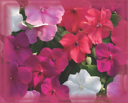 Impatiens Flower Essence - Nature's Remedies