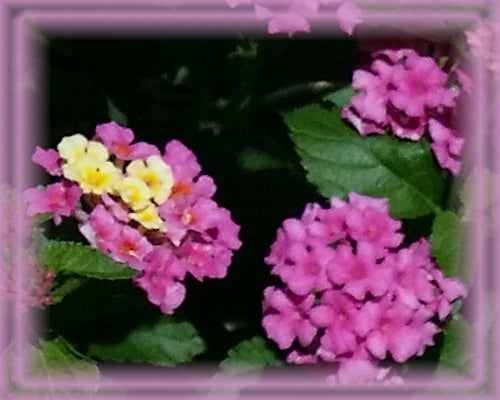 Lantana Flower Essence - Nature's Remedies